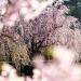 日中線記念自転車歩行者道はしだれ桜の新名所! 駐車場も近いですよ!!
